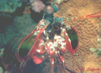 university of chicago mantis shrimp essay